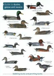 Bird Identification Chart Field Guide To Ducks Geese And Swans Laminated Bird