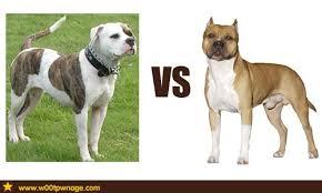 pitbull dog vs bulldog. Unique Dog American Bulldog Vs Staffordshire Terrier  By August V F And Pitbull Dog Vs O