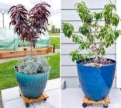 how to grow miniature peach trees in
