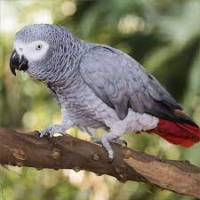 Amazon.com : African Grey Calendar - African Grey Parrot Calendar - Parrot  Calendar - Bird Calendars - 2017-2018 Monthly Wall Calendar by Avonside :  Office Products