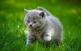 cute fluffy gray kittens. Plain Cute Cats Grey Kittens Fluffy Fat Grass Animals Cat Kitten Baby Cute Wallpaper   2048x1280 110394 WallpaperUP With Cute Gray 2