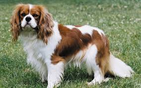 cavaliers dogs. Interesting Cavaliers The Cavalier King Charles Spaniel Is A Wonderful Pet To Have They Are One  Of The Largest Toy Breeds And Generally Very Friendly Dogs Inside Cavaliers Dogs I