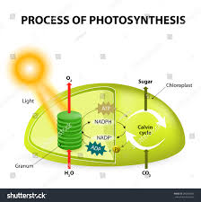 Light Cycle Photosynthesis Diagram Process Photosynthesis Showing Light Reactions Stock