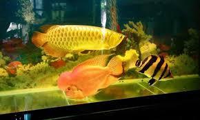 Đèn LED XML 85% cho hồ bể cá rồng 80cm - 1m, dài 80cm, 2 hàng - Ánh sáng  vàng   Lyly Shop