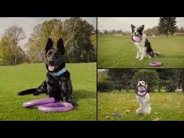<b>PULLER</b> 2017 <b>Пуллер тренировочный снаряд</b> для собак - YouTube