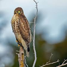 What Is A Hawk Light Six Quick Questions To Help You Identify Red Tailed Hawks