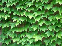 8 Best Wall Climbing Plants And Ground Cover Images On Pinterest Wall Climbing Plants For Shade