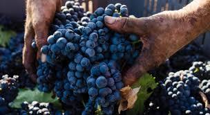 Risultati immagini per primitivo di manduria vitigno salento