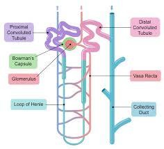 Nephrons Bioninja