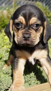 black and tan puggle.  And Banksia Park Puppies Puggle Intended Black And Tan
