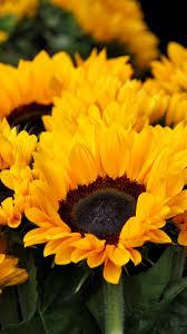 beautiful sunflower hd wallpaper beautiful sunflower wallpaper sunflower hd wallpaper sunflower wallpaper sunflower flower nature