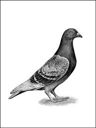 Small Picture 36 best Pigeons to colour images on Pinterest Animals Homing
