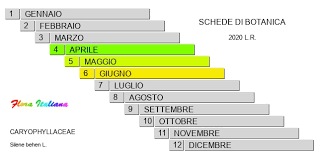 Silene behen [Silene rigonfia] - Flora Italiana