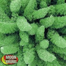Foxtail Fern | Shrubs | Moon Valley Nurseries