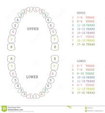 Orthodontic Tooth Chart Tooth Chart Human Teeth Stock Vector Illustration Of Chart