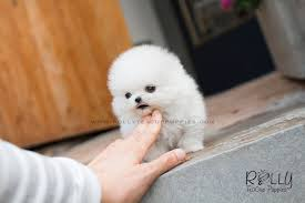 white teacup puppy. Simple Teacup Snow White  Pomeranian Pomeranian Rolly Teacup Puppies Inside Puppy U