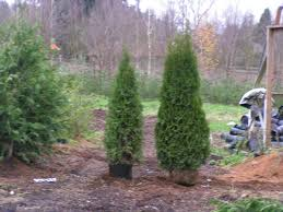 Emerald Green Arborvitae- What you Need to Know. Great article on these  trees.