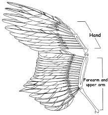similiar hummingbird wing anatomy keywords bird wing anatomy diagram bird circuit and schematic wiring diagrams