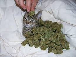 kief joint. kitty cat funny cute cool weed marijuana ganja blunt joint bong awesome fire pot dank reefer kief