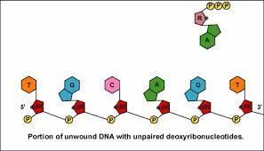 What Makes Breaks The Hydrogen Bonds Between Dna And Rna