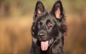 Black German Shepherd The Ultimate Breed Guide All