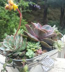 Echeveria succulent arrangement in galvanized tin oval bucket Available  from Green Dreams Market