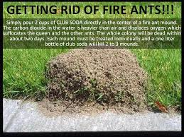 kill fire ants using soda