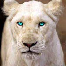 white lioness with blue eyes. Brilliant Lioness White Lioness With Blue Eyes  Google Search In White Lioness With Blue Eyes Pinterest