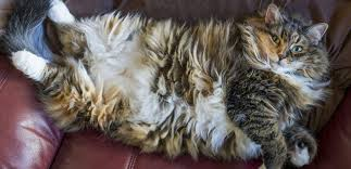 How Big Do Maine Coons Get Maine Coon Expert