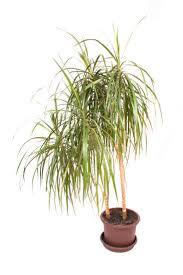 office pot plants. Palms Palm In Pot Suitable For An Office Environment Plants