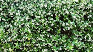 1269 Best Images About Vines On Pinterest  Jasmine Arbors And Wall Climbing Plants Australia