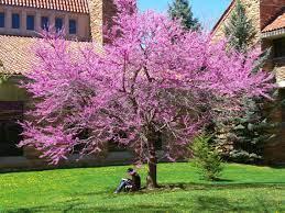 Cercis siliquastrum - Erguvan Ağacı Özellikleri