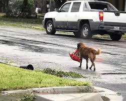 otis the dog. a german shepherd mix named otis was seen carrying around his bag of dog food in the s