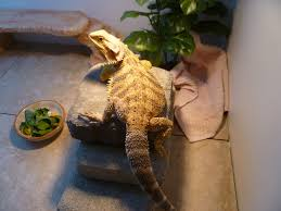 Post Your Growth Charts Here Bearded Dragon Org