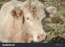 Light Livestock Milk Cattle Light Coloured Cow Stock Photo Edit Now 1014431224