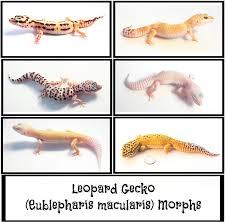 Leopard Gecko Morph Chart Most Popular Leopard Gecko Morphs