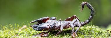 Scorpion Symbolism Scorpion Meaning Scorpion Totem