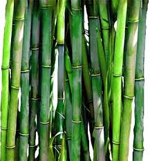 Small Picture Best 25 Bamboo plants for sale ideas on Pinterest Bamboo