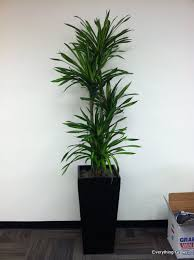 tall office plants. Beautiful Plants Everything Grows December 2011 Tall Office Plants For Office Plants A