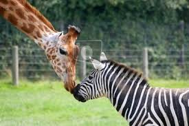 Image result for zebra and giraffe