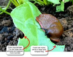 slugs and coffee grounds