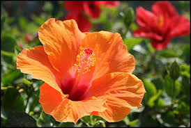 hibiscus flowers hibiscus flowers jpg