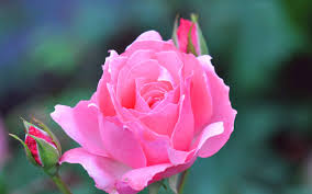 pink rose flowers wallpapers for desktop hd desktop 10 hd