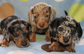what are the coat patterns of the dapple dachschund miniature dachshunds dachshund puppies and dachshunds