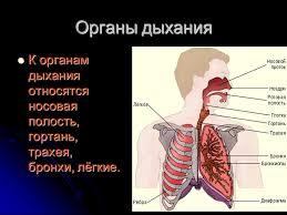 Реферат Органы дыхания  Органы дыхания 2