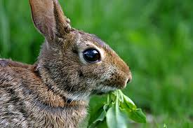 some flowers rabbits won t eat