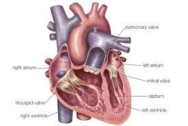 Анатомия сердца и сосудов функциональное строение Основной насос человеческого тела