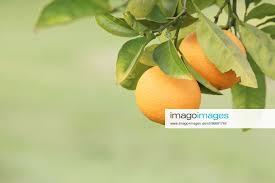stockfoto oranges oranges hanging on a