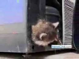 Raccoons In Vending Machine Best Raccoons Rescued From Vending Machine YouTube