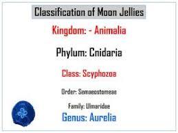 Classification Chart Of Moon Jellyfish Jellyfish Facts
